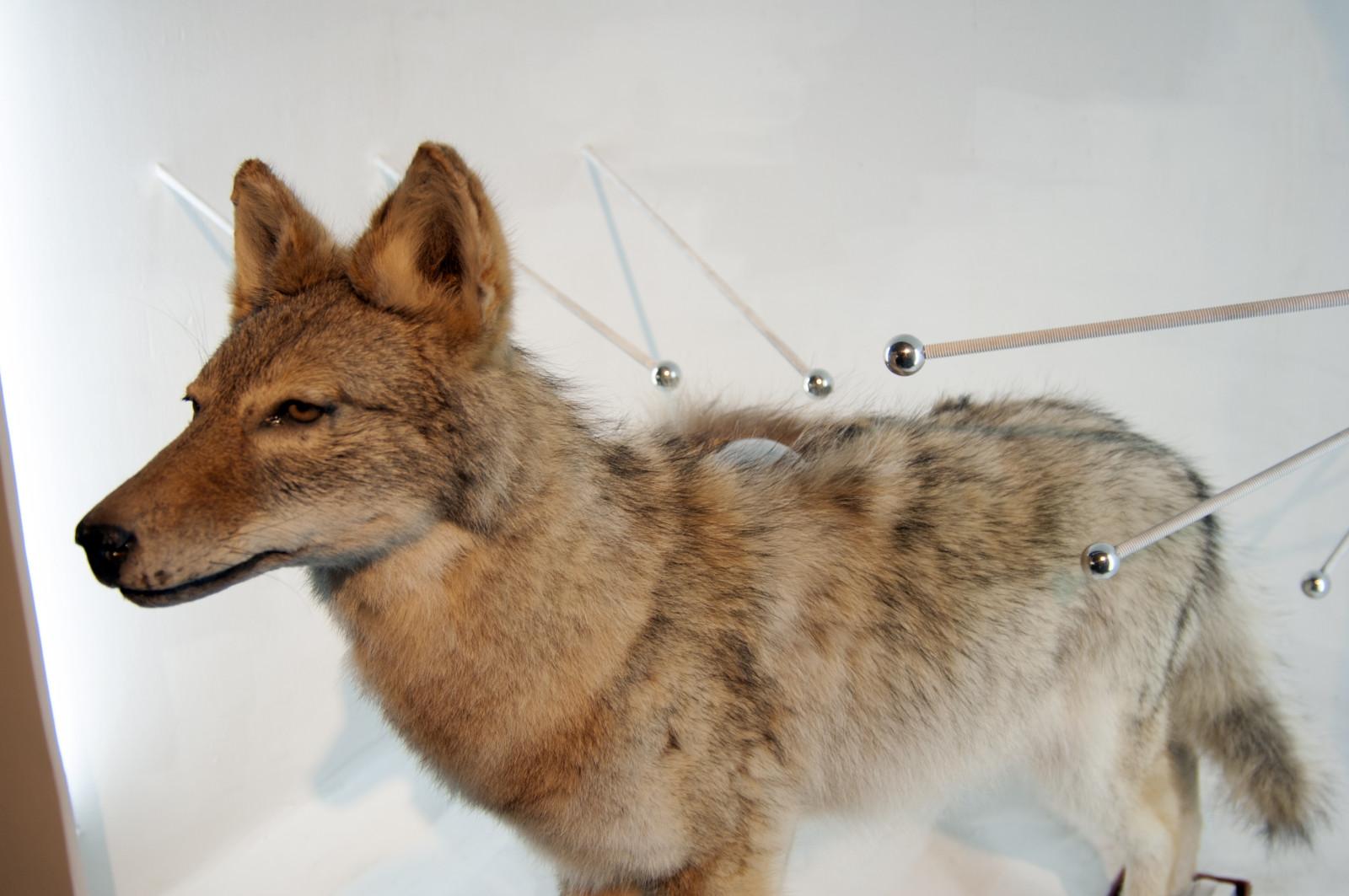 400000 Volt Coyote